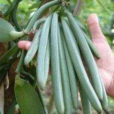 Jagung vanila hijau