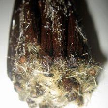 Kristal vanila semulajadi