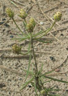 Plantain smėlio