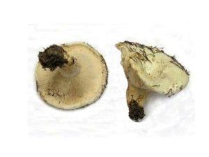 Georgische Pilze