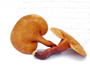 Reishi gombák