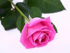 Rožių gėlė