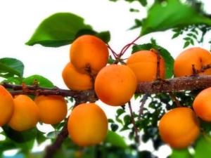 Apricot di Siberia: bagaimana menanam buah selatan di iklim yang keras?