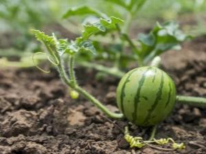 Kaip sodinti arbūzų sėklą atvirame lauke?