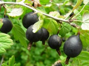 Hibrid currant dan gooseberry: ciri dan penanaman