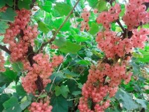 Currant merah jambu: penerangan jenis dan penanaman mereka