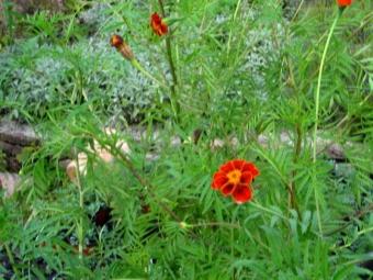 Meksikon marigold