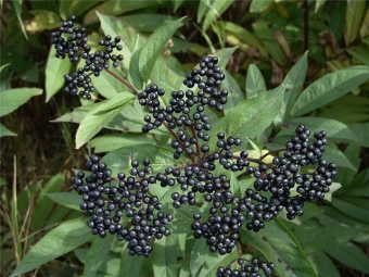 Buah Elderberry