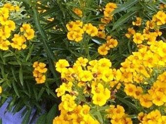 Tarragono gėlės