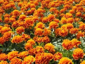 Ranskan marigoldit