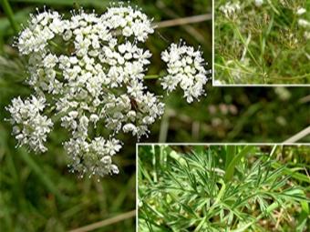 Kümmelstamm, Blumen und Samen