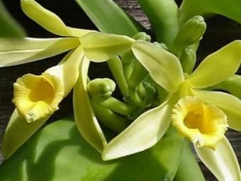 Flores de vainilla