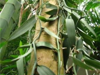 الفانيليا ليانا البرية