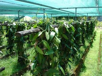 Plantaciones de vainilla