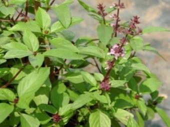 Basilikum Blumen