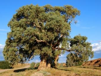 Pokok eukaliptus