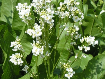 Rábano picante en flor