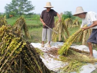 Produkcja sezamu