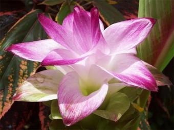 Flor de la cúrcuma