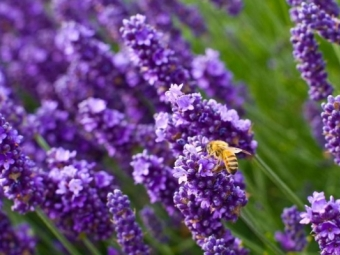 Levandų meilės bitės
