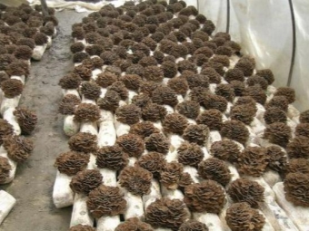 Maitake που καλλιεργείται για εμπορικούς σκοπούς