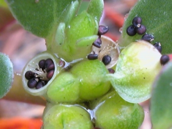 Fruits Portulaca