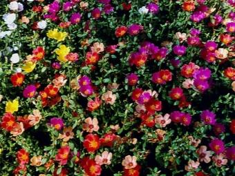 Portulaca virágok