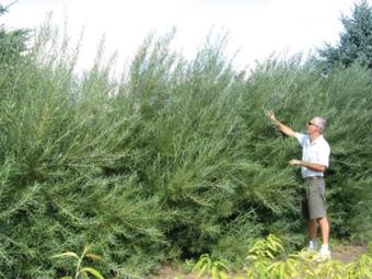 3 años arbustos de romero