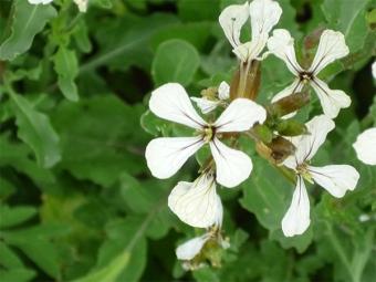 Arugula Ziedi