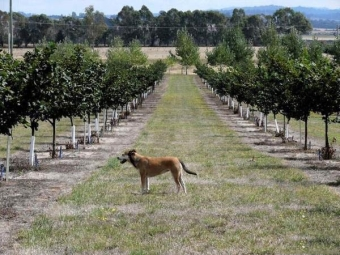 Plantando avelãs