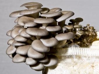 Intensive Methode für den Anbau von Austernpilzen