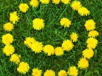 Blumen Löwenzahn medizinisch