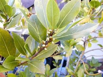 Laurel levelek