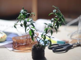 Keratan pokok myrtle