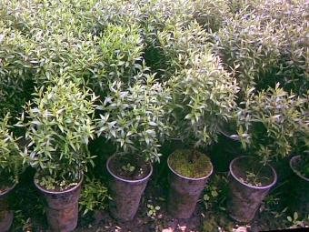 Setzling Myrtenbaum