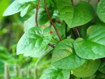 Malabar σπανάκι