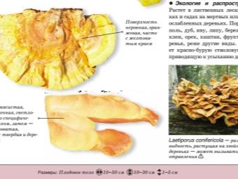 Sulphur yellow tinder