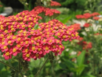 Yarrow bush