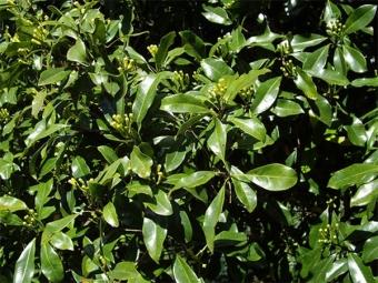Syzygium gewürzt
