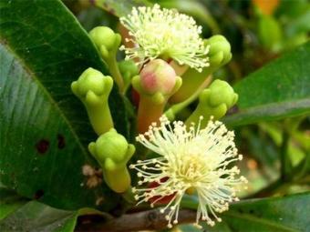 Blühende Nelke