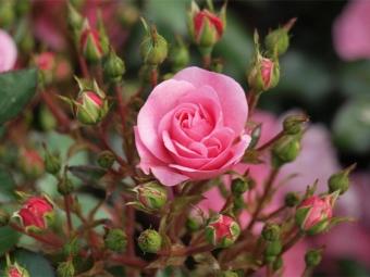 Rožu krūms