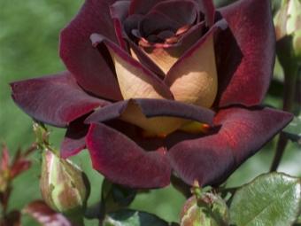 Hibrīda dārza rožu zieds