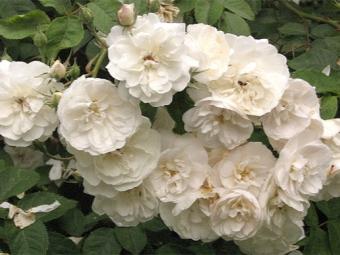 Roses Ayshire