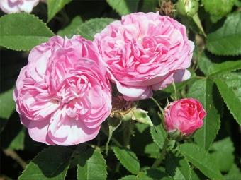 Damaska rozes