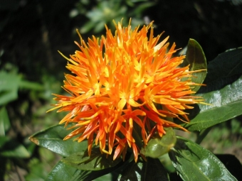 Flor de cártamo