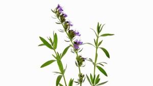 Hysop (jonažolė, agastahis)