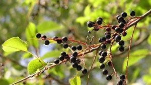 Bagas de cereja de pássaro: benefício e dano, recomendações para uso