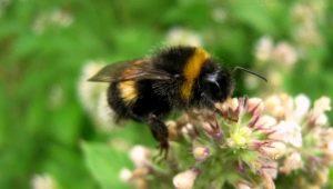 Mel de abelha: há realmente e como escolher?