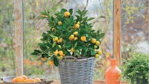 Cultivo de plantas cítricas