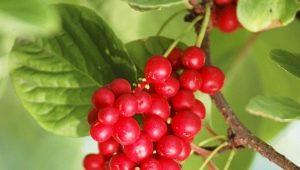 Apa yang boleh disediakan dari buah beri Schizandra Cina?